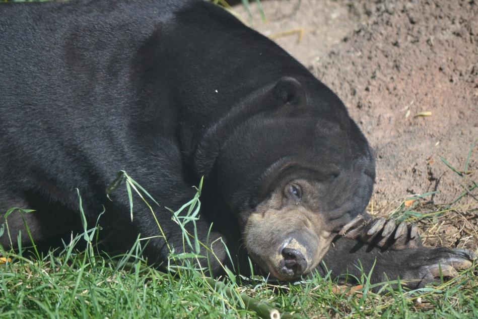 Un oso de Malasia