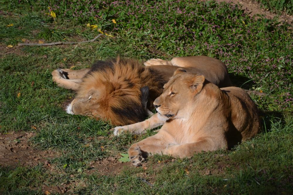 Los leones tomando la siesta