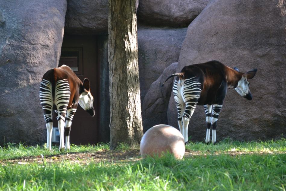 Los okapis, aunque tienen rayas como las zebras, están mas relacionados con las jirafas.