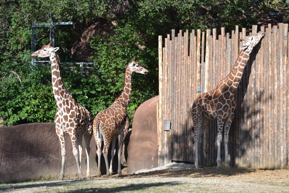 Mis favoritas, las jirafas